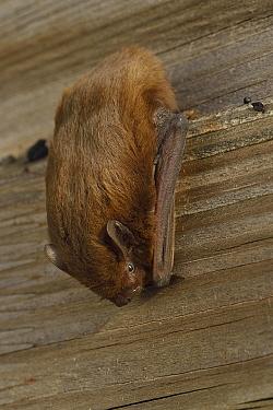 Pipistrelle bat (Pipistrellus pipistrellus) roosting, Vendee, France, September.
