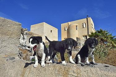 Street dog puppies, Santorini Island, Greece, September
