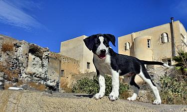 Street dog puppy, Santorini Island, Greece, September