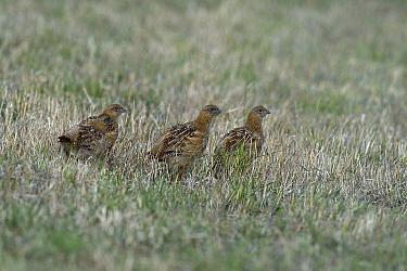 Grey partridges (Perdix perdix), Breton Marsh, Vendee, France, August.