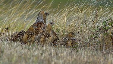 Grey partridge (Perdix perdix) pair and chicks, Breton Marsh, Vendee, France, August.