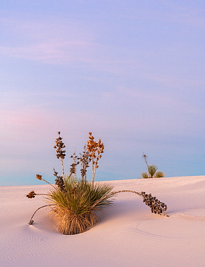 Soaptree yucca (Yucca elata) on gypsum dune at first light. White Sands National Monument, New Mexico, USA. December,