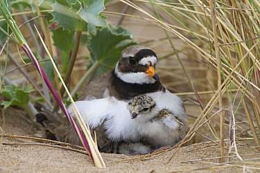 Ringed plover (Charidrius hiaticula) with newly hatched chick, County Wicklow, Ireland, June.