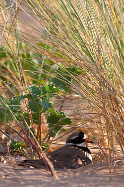 Ringed plover (Charadrius hiaticula ) nesting amonst Sea Holly and Marram grass. County Wicklow, Ireland, June.