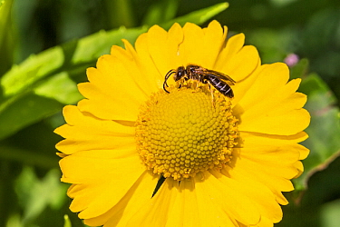 Polymorphic sweat bee (Halictus rubicundus) on Helenium (Helenium sp) in garden, Cheshire, England, UK. August.