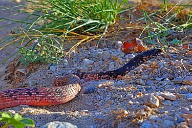 Sonoran coachwhip snake (Masticophis flagellum cingulum). Catalina State Park, Arizona, USA.