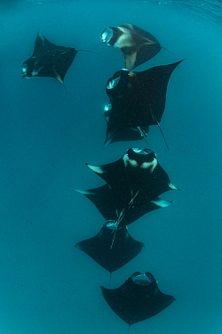 Reef manta rays (Manta alfredi) filter feeding in atoll passes and lagoons Hanifaru Bay, Raa Atoll, Maldives