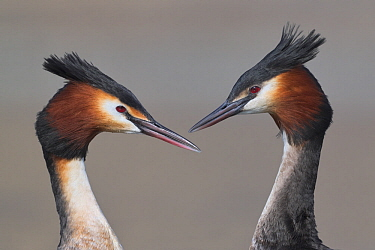 Australasian crested grebe (Podiceps cristatus australis) pair in courtship display, portrait. Lake Camp, Ashburton Lakes, Canterbury, New Zealand. August.