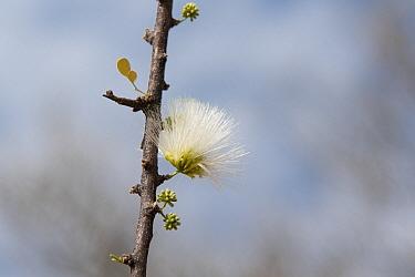 Acacia mellifera flower, Erongo Mountain conservancy, Namibia
