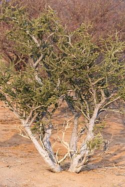 Shepherd's tree, (Boscia albitrunca), covered in mud from tree termite building activity, Erongo mountains, Namibia
