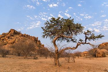 Shepherd's tree, (Boscia albitrunca), Erongo mountains, Namibia