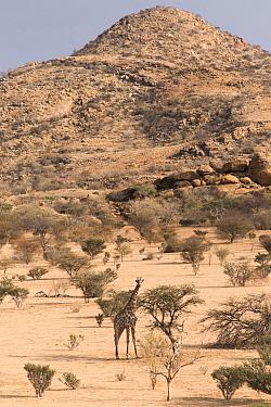 Namibian giraffe, (Giraffa camelopardalis angolensis), Erongo Mountain Conservancy, Namibia