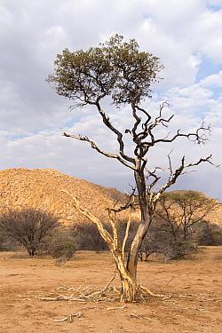 Shepherd's tree (Boscia albitrunca) covered in mud from tree termite activity , Erongo mountains, Namibia
