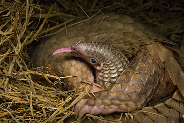 Sunda pangolin (Manis javanica) with two-week old baby, with tongue out. The mother was rescued from poachers when she was pregnant and later gave birth while in rehabilitation. Carnivore and Pangolin...