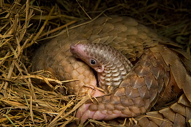Sunda pangolin (Manis javanica) with two-week old baby. The mother was rescued from poachers when she was pregnant and later gave birth while in rehabilitation. Carnivore and Pangolin Conservation Pro...