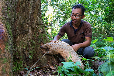 Keeper Ade Kurniawan with Sunda pangolin (Manis javanica), Singapore Night Safari, Singapore. Captive.