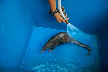 Sunda pangolin (Manis javanica) getting a bath, Singapore Night Safari, Singapore. Captive.
