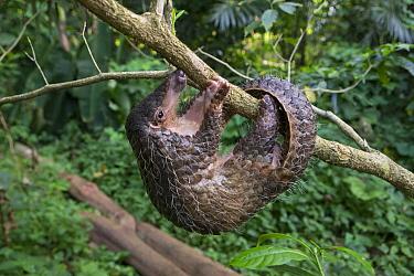 Sunda pangolin (Manis javanica) Singapore Night Safari, Singapore. Captive.