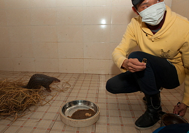 Staff adding medicine into the food of a Chinese pangolin (Manis pentadactyla) suffering from pneumonia. Shenzhen Wildlife Rescue Center, Guangdong China.