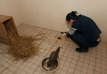 Staff examing faeces of a rescued Chinese pangolin (Manis pentadactyla). Shenzhen Wildlife Rescue Center, Guangdong, China.