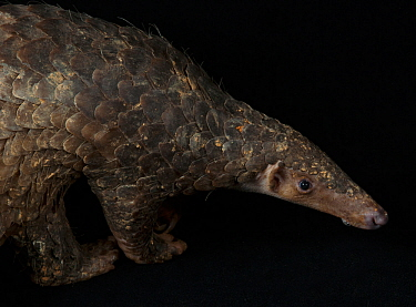 Confiscated Sunda pangolin (Manis javanica). Shenzhen Wildlife Rescue Center, Guangdong, China. Captive, digitally cleaned.
