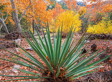 Yucca (Yucca schottii) with Sycamore (Acer sp) and Ash (Fraxinus sp) in autumn foliage in background. Cave Creek Canyon, Chiricahua Mountains, Coronado National Forest, Arizona, USA. November 2019.