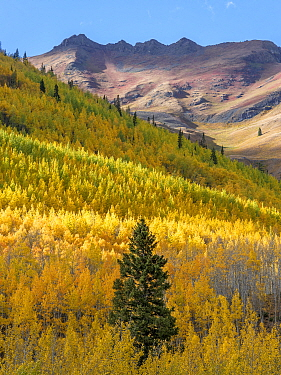 Aspen (Populus tremuloides) forest with scattered Englemann spruce (Picea engelmannii) in autumn, Hayden Mountain in background. Uncompahgre National Forest, Colorado, USA. September 2019.
