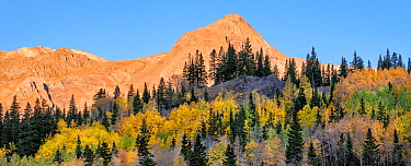Aspen (Populus tremuloides) and Englemann spruce (Picea engelmannii) forest, Red Mountain in background. Uncompahgre National Forest, Colorado, USA. October 2019.