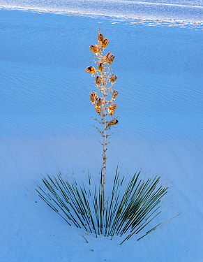 Soaptree yucca (Yucca elata) with seedhead in white gypsum sand dunes, White Sands National Monument, New Mexico, USA. December.