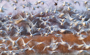 Snow geese (Anser caerulescens) flock landing in corn stubble, Bosque del Apache National Wildlife Refuge New Mexico, USA, November.