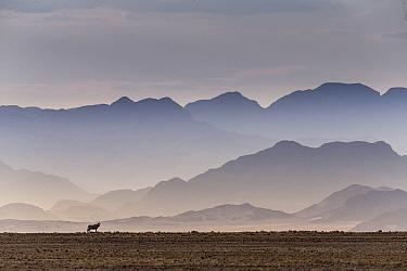 Gemsbok (Oryx gazella) in the Sossusvlei Valley, Namib Desert. Namib-Naukluft National Park, Namibia.