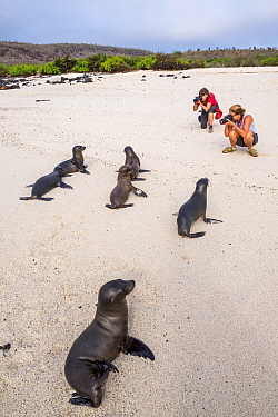 Tourists taking picture of Galapagos sea lion (Zalophus wollebaeki) Gardner Bay, Espanola (Hood) Island, Galapagos. April 2016.