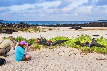 Tourists photographing displaying Great frigatebird (Fregata minor) Galapagos Islands Tourism, Darwin Bay, Genovesa (Tower) Island, Galapagos. May 2011.