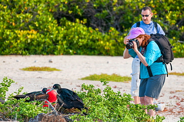 Tourist photographing male and female Great frigatebird (Fregata minor) Darwin Bay, Genovesa (Tower) Island, Galapagos. May 2011.