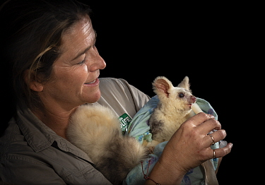 Alice Roser, worker at Currumbin Wildlife Sanctuary feeding Greater glider (Petauroides volans) 'Grevillea' female, nectar via syringe. Captive animal reared from baby, this glider was rescue...