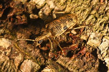 Black-spotted Longhorn Beetle (Rhagium mordax) on fallen oak, Castlewellan Forest Park, County Down, Northern Ireland, September.