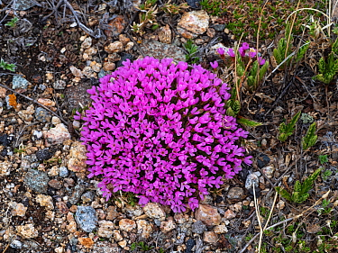 Moss campion (Silene acaulis) growing beside the Bear Tooth All American Road, Wyoming, USA, June.