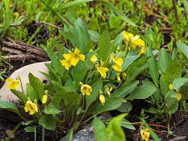 Yellow prairie violet (Viola nuttallii) Montana, USA, June.