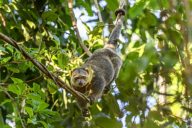 Sulawesi bear cuscus or Sulawesi bear phalanger (Ailurops ursinus) adult in forest canopy, showing use of prehensile tail. Tangkoko National Park, Sulawesi, Indonesia.
