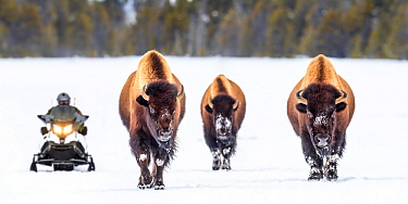 American bison (Bison bison) female walking on the snow covered road with snow mobile to the rear. Firehole Valley, Lower Geyser Basin, Yellowstone, USA. January