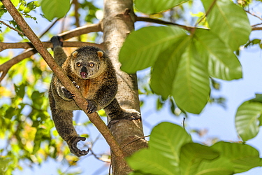 Sulawesi bear cuscus / phalanger (Ailurops ursinus) in forest canopy. Tangkoko National Park, Sulawesi, Indonesia.
