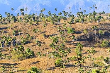 Palm savannah, habitat of Komodo dragon (Varanus komodoensis) Rinca Island, Komodo National Park, Indonesia. Endangered.