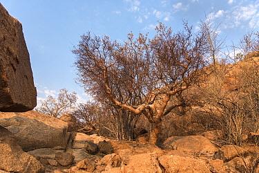 Blue-leaved corkwood tree (Commiphora glaucescens) Erongo Mountains, Namibia