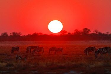 Burchell's zebra (Equus quagga burchellii) at sunset near Namutoni, Etosha National Park, Kunene, Namibia, September