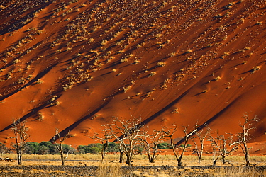 Acacia trees below a sand dune in Tscauchab valley, Namib-Naukluft National Park, Namibia, October