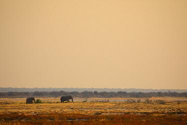 African bush elephants (Loxodonta africana) on the Etosha Pan near Namutoni, Etosha National Park, Kunene, Namibia