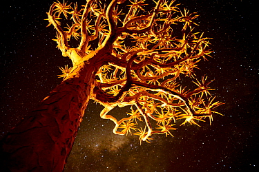 Kokerboom or Quiver Tree (Aloe dichotomum), a species of aloe indigenous to Southern Africa, at night. Quiver tree forest, Kalahari, Namibia