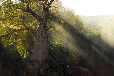 Baobab (Adansonia sp.) at edge of Epupa falls, Kunene River, Namibia
