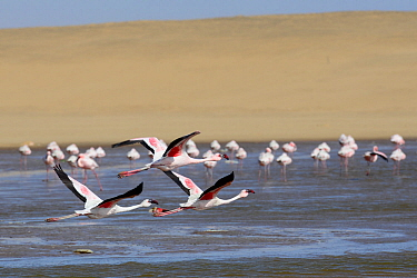 Greater flamingos (Phoenicopterus ruber) in the Walvis Bay Lagoon, one of the most important wetlands for birds along the southern African coast, Namib desert, Namibia. Since 1995 it has been a procla...
