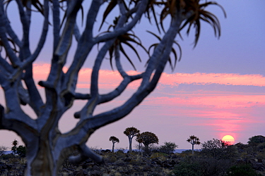 Kokerboom or Quiver Tree (Aloe dichotomum), a species of aloe indigenous to Southern Africa. Quiver tree forest, Kalahari, Namibia